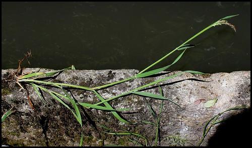 Holcus lanatus - houlque laineuse 33830970860_550f88a7e5