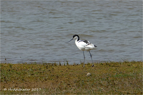 Avocet at Kilnsea Wetlands