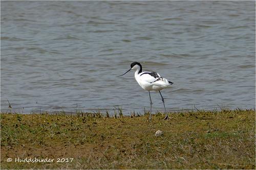 Avocet at Kilnsea Wetlands