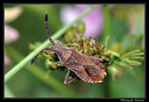 Coriomeris affinis