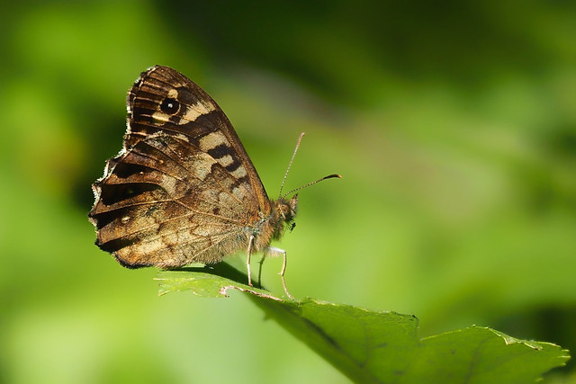 Speckled Wood..