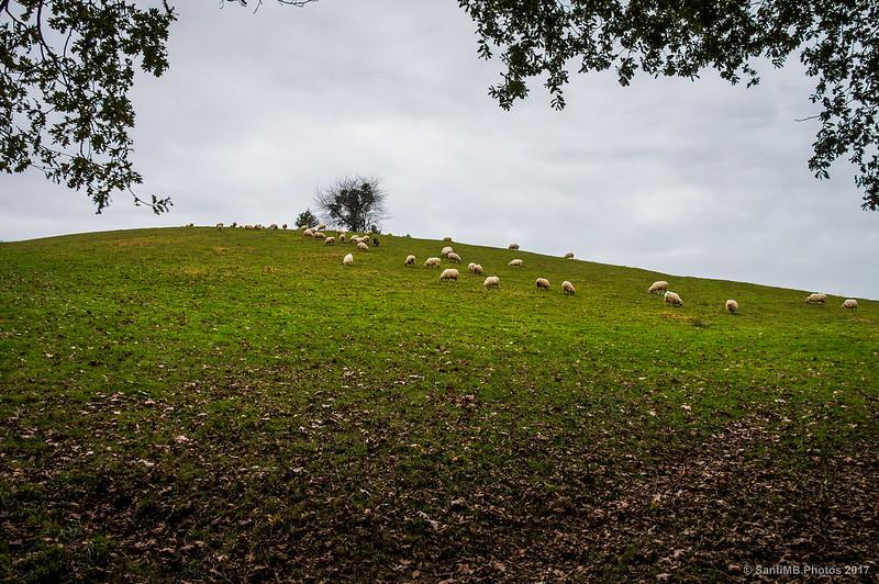 Ovejas pastando cerca de Urdax