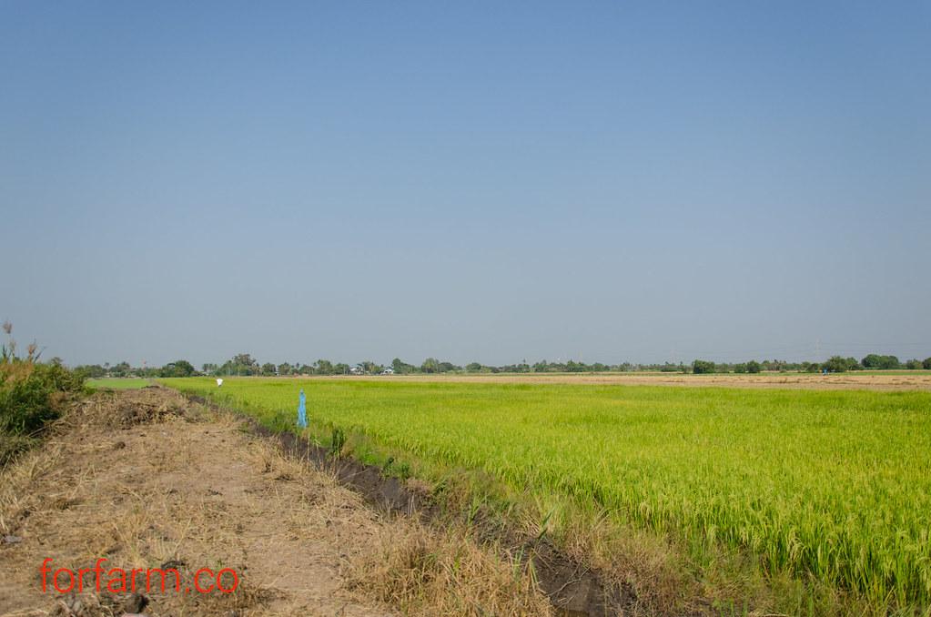 พื้นที่ด้านข้างเป็นนาในเขตุชลประทาน สามารถปลูกข้าวได้ทั้งปี