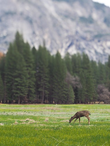 Deer in the Ahwahnee Meadow