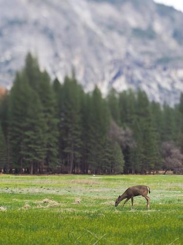 Deer in the Ahwahnee Meadow