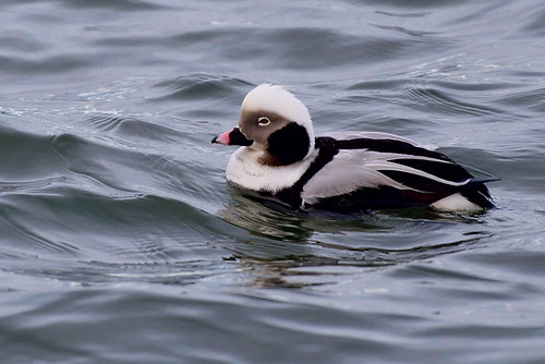 Barnegat: Long-tailed Duck 1