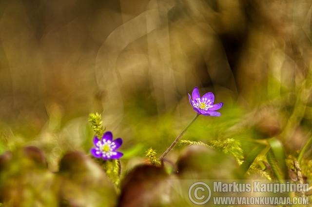 Sinivuokkoja / Helios 44-2. © Markus Kauppinen