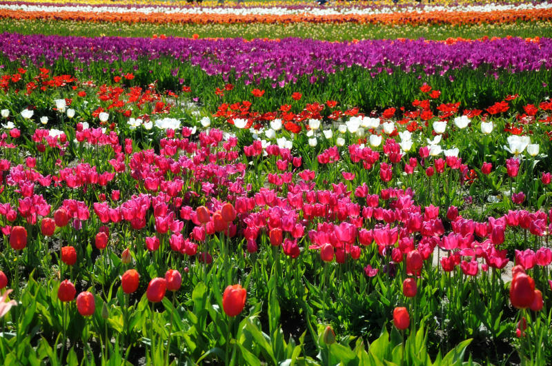 Tulip Festival @ Mt. Hope Chronicles