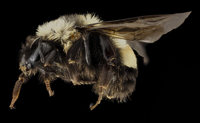 Bombus affinis, F, side, sky meadows, virginia_2014-09-22-18.05.02 ZS PMax