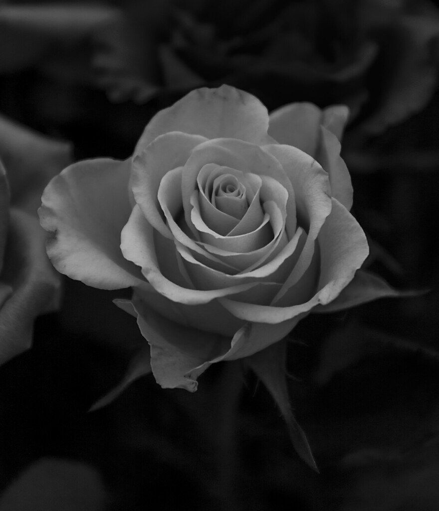 White rose bw by leppre