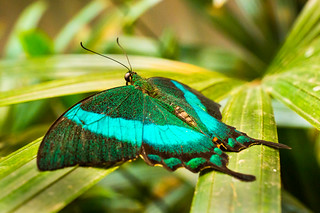 Green-Banded Swallowtail | by PopsDigital