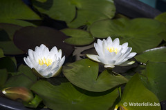Nymphaea Virginalis
