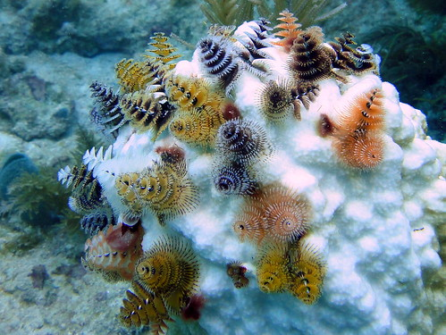 Christmas Tree Worms on Bleached Coral Head, French Reef, Key largo | by mattk1979