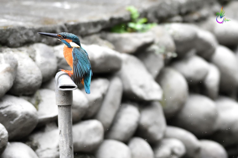 Common_Kingfisher_0977