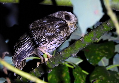 Cuba: Bare-shanked Owl
