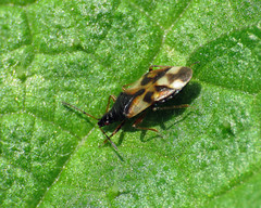 Common Flower Bug - Anthocoris nemorum