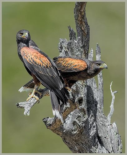 2017 IMAGE of the YEAR - Harris Hawks on Alert - by Marcia Nye | by Nature Camera Club