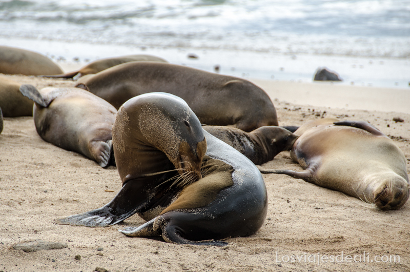 leones marinos en isla San Cristóbal