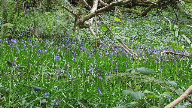 Bluebells in Hisley Wood