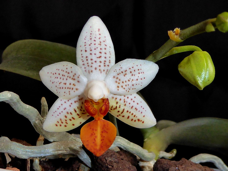 Phalaenopsis Mini Mark - Seite 6 34014733851_fd8bbc2059_c