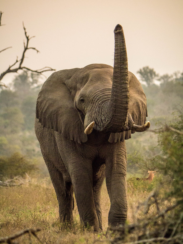 Images Of Elephants With Trunk Up Best Elephant 2017