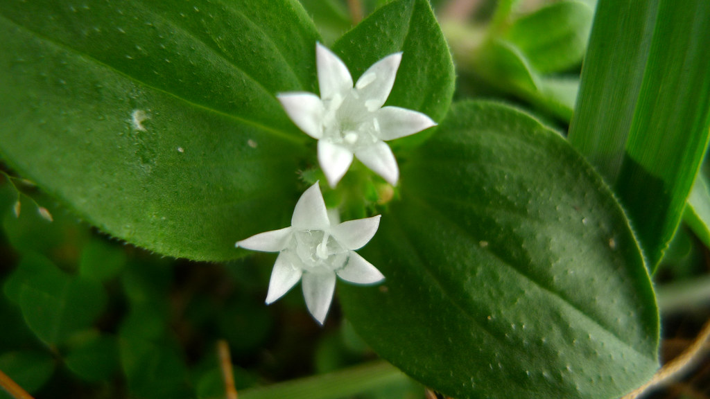 Leaves tiny white flower with 6 petals jnzls photos flickr tiny white flower with 6 petals by jnzls photos mightylinksfo