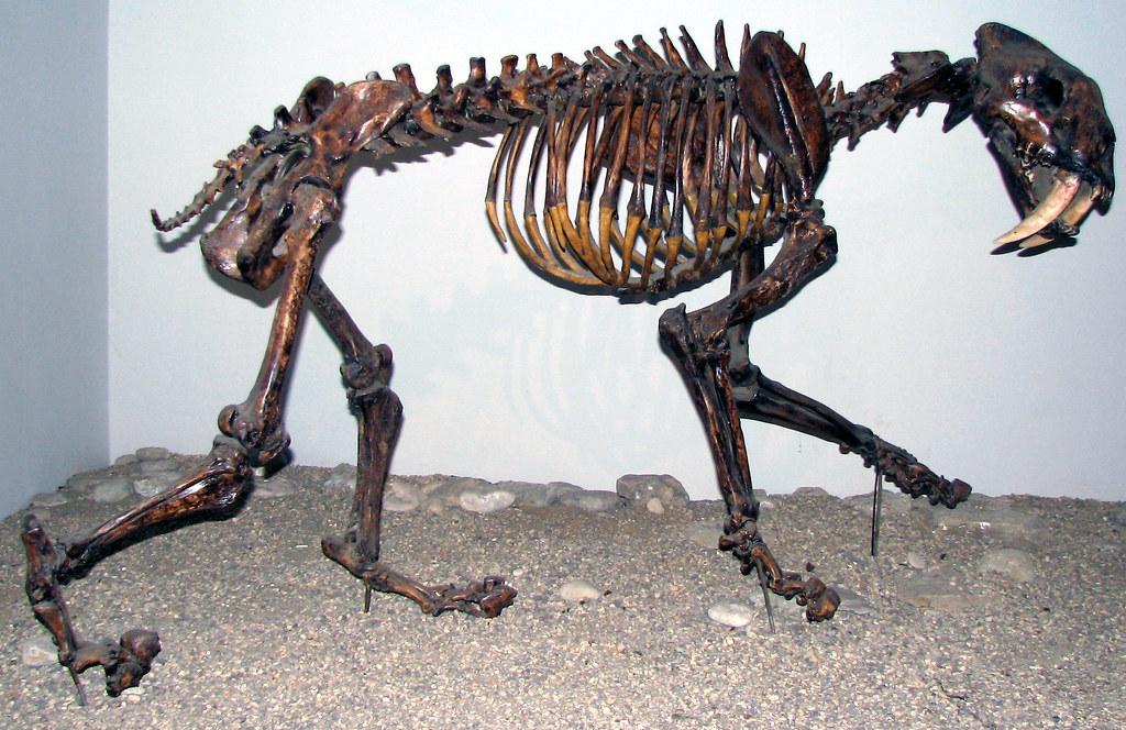 smilodon fatalis  saber
