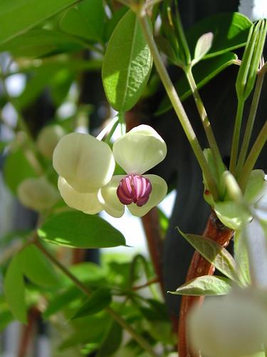Akebia quinata 'Cream form'