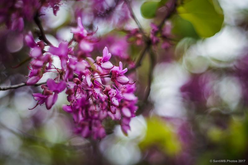 Flores de árbol del amor