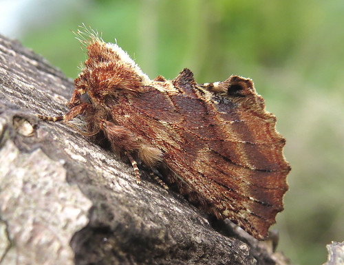 Coxcomb Prominent Ptilodon capucina Tophill Low NR, East Yorkshire April 2017