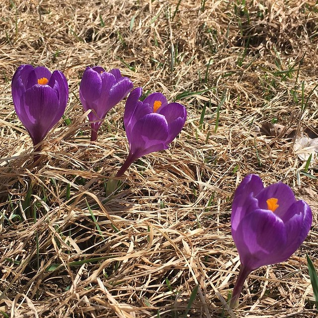 Crocuses on the front lawn blooming. #vermont
