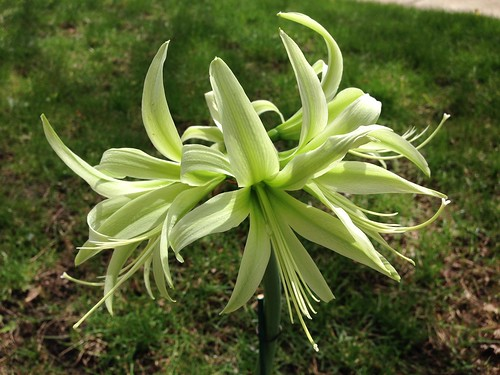Amaryllis Evergreen, third scape