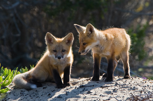5 of 5 Red Fox Pups Morro Bay, CA 26 May 2008 | by mikebaird