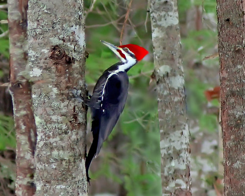 Pileated Woodpecker | by RicKarr