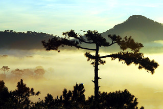 pine tree in the fog | by bluefam