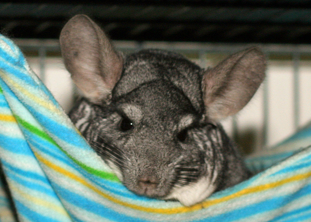 chinchilla in fleece hammock steve kriegler 20110430 0910crop2   by uncle beast chinchilla in fleece hammock steve kriegler 20110430 0910c u2026   flickr  rh   flickr