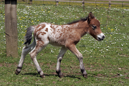 MINIATURE FOAL: THE WILD WEST | by pg tips2