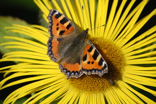 Small Tortoiseshell | by Mike G Photos