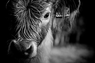 Highland Calf - B&W | by adam_roberts
