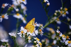 Orange Sulphur on blue | by Jeremy Stockwell