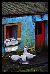Trio of Geese | by CONOR LEDWITH