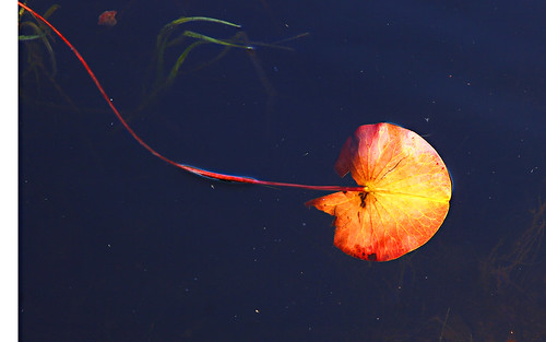 autumn waterlily | by Muffet