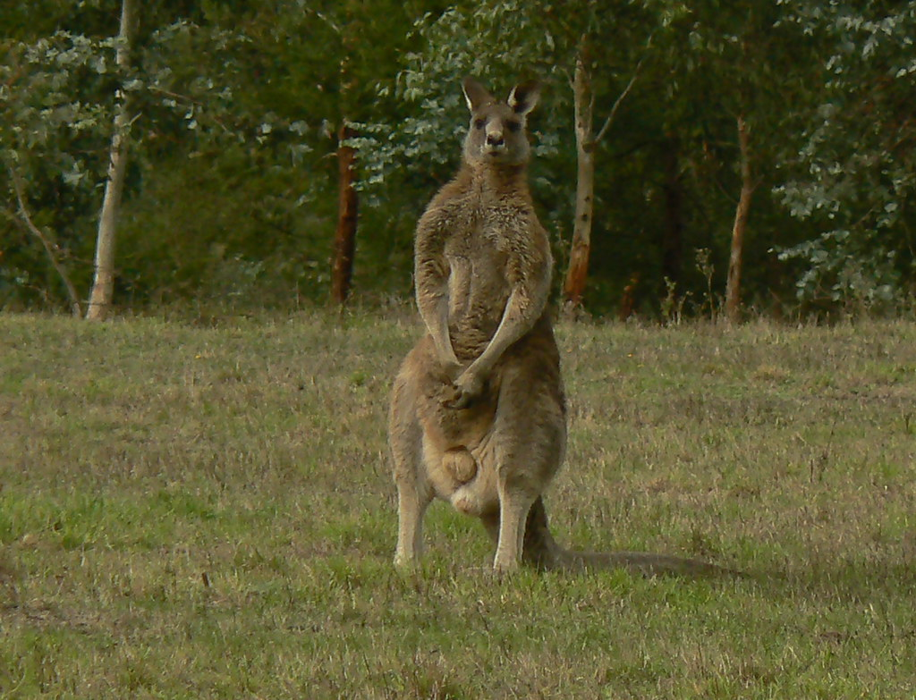 By Ianmichaelthomas The Biggest Eastern Grey Kangaroo I Have Ever Seen By Ianmichaelthomas