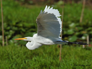 Great White Egret | by JRIDLEY1
