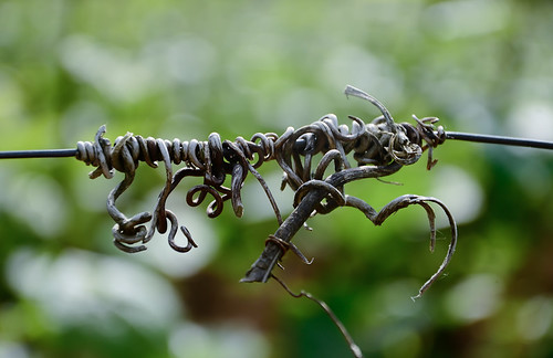 Last Seasons Vine Tendril - Burgundy 2011 | by The Hungry Cyclist