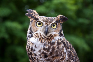 Great Horned Owl | by Laura Erickson
