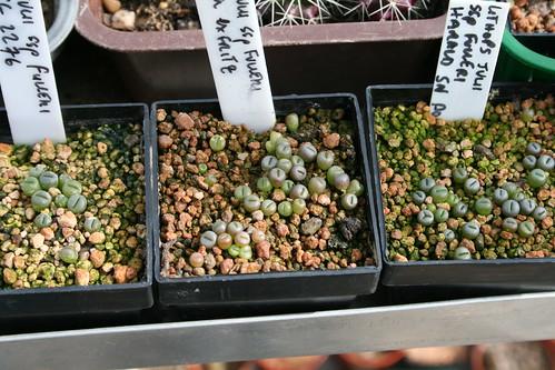 Assorted Lithops seedlings