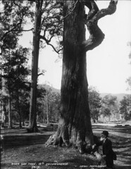 River oak tree, 16ft circumference | by Powerhouse Museum Collection