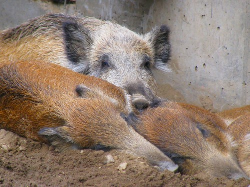 Pig Pile | by QuietDelusions