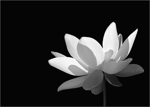 Lotus Flower - lotus77 | Lotus Flower bighugelabs.com ...